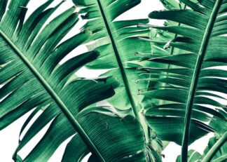 Dark green tropical banana leaves poster