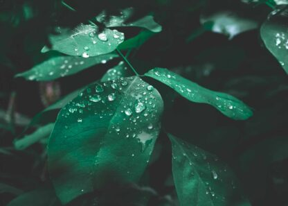 Green leaves with water drops in dark tone poster
