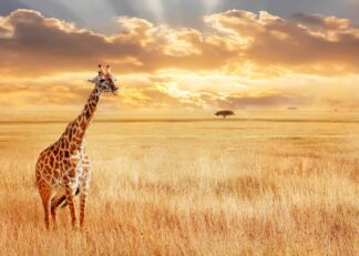 Giraffe in the savannah poster