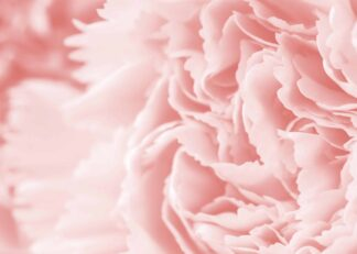 Macro carnation flower in coral color poster