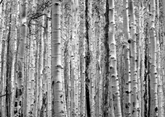 Aspen tree trunks forest poster