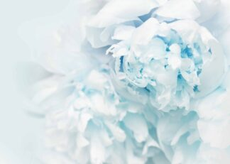 Close-up light blue peony flowers poster