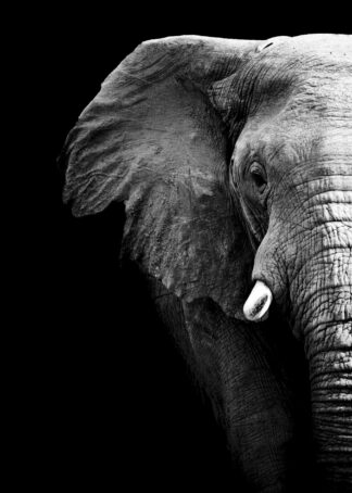 Black and white african elephant partial poster