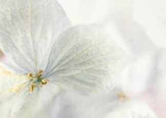 White hydrangea flower with macro technique poster