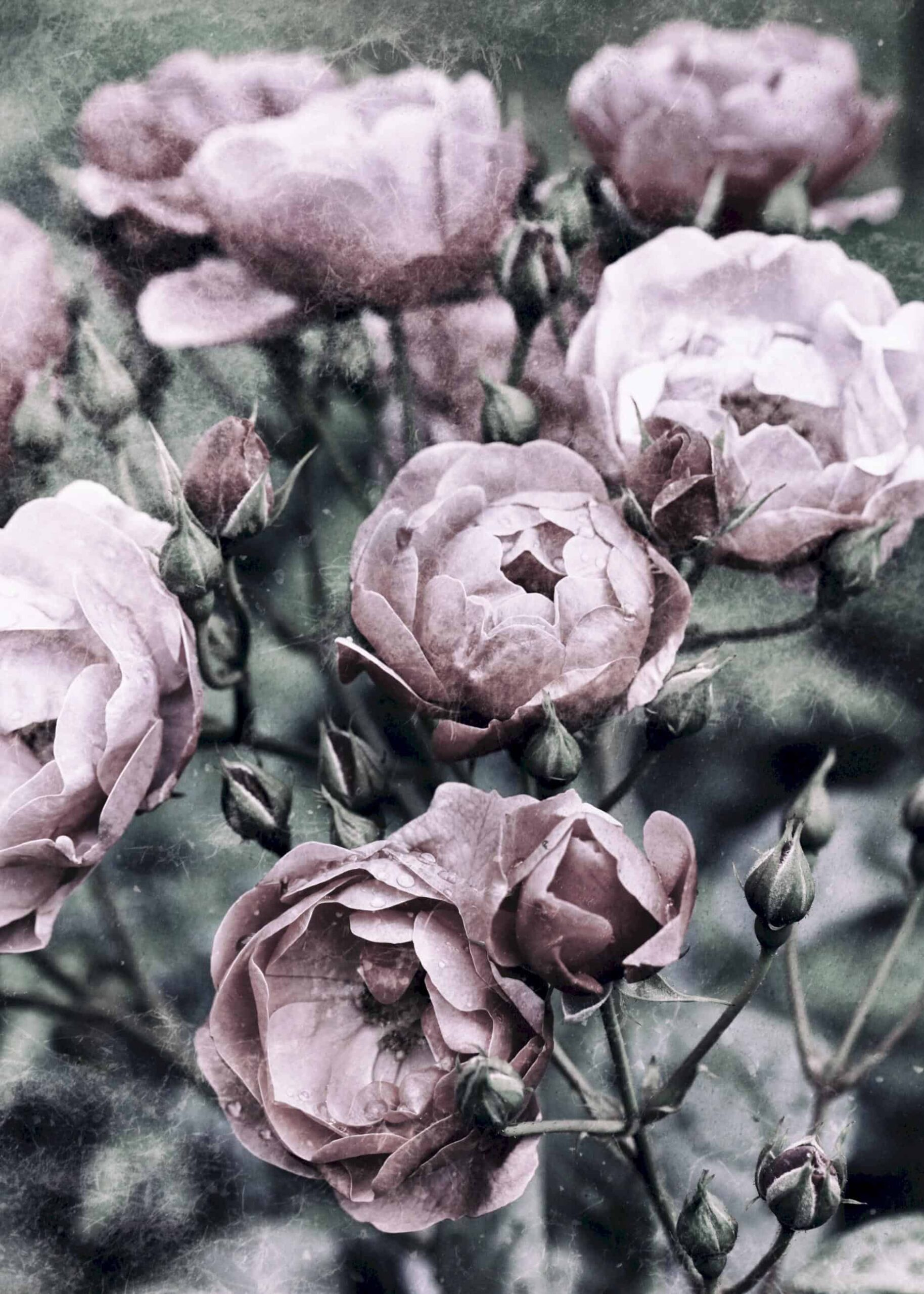 Vintage pink camellia in bloom with grunge effect poster