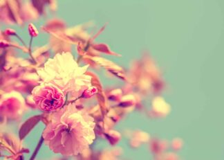 Cherry blossom – Sakura in vintage soft-toned effect poster