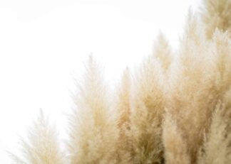 Tussock of pampas grass on a clear sky poster
