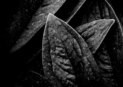 Close-up on leaves with water drops poster