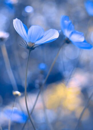 Blue cosmos flowers poster