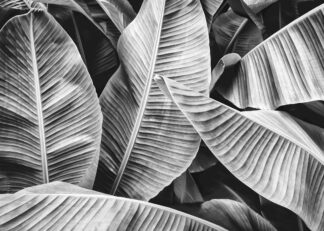 Banana leaf in black and white poster