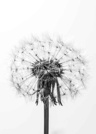 Close-up of a dandelion in black and white poster