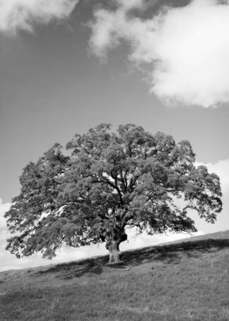 Large oak tree in the black and white poster
