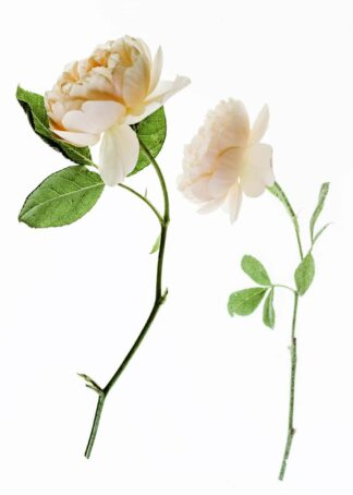 Two magnolias branch on white background poster