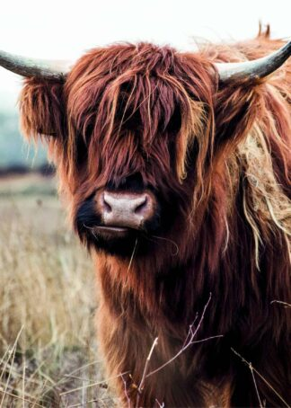 Gorgeous highland cow poster