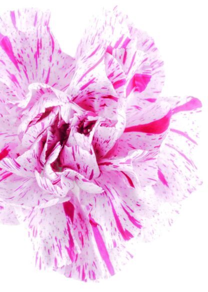 Pink and white flower head poster