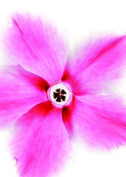 Pink flower head on white background poster