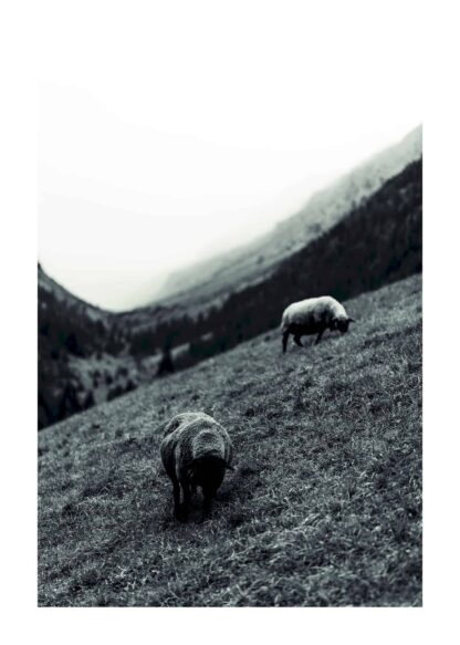 Sheeps grazing in the mountain poster