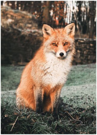 Fox photography poster