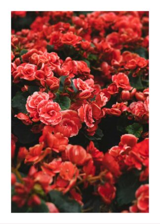 Beautiful red flowers in garden poster