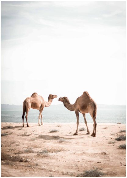 Camels walking on the beach poster