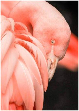 Flamingo close up poster