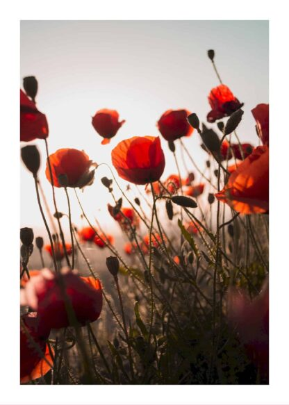 Red flowers in sunset poster