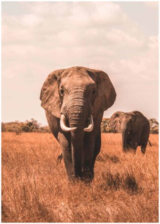 Approaching elephant poster