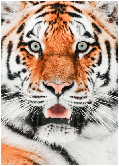 Starring scary tiger poster
