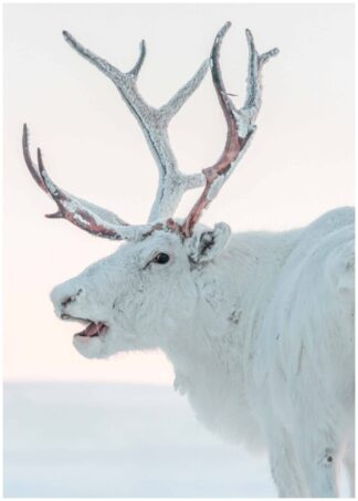 White reindeer poster