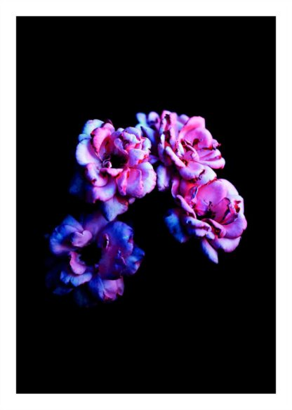 Pink flowers on black background poster
